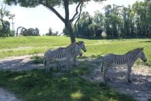 Die Zebras machen es richtig - und verbringen die Mittagszeit im Schatten