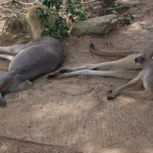 Kängurus in der Mittagssonne